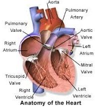 Heart transplant - Transplantation Procedures